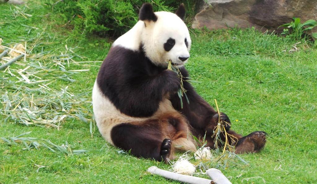 panda qui mange du bambou